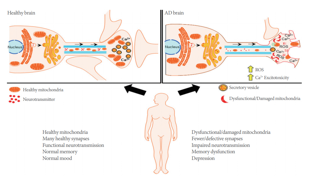 Impaired Recycling Of Mitochondria In >> Dysfunctional Mitochondrial Bioenergetics And Synaptic